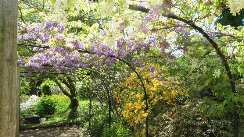 Wisteria at Fintry